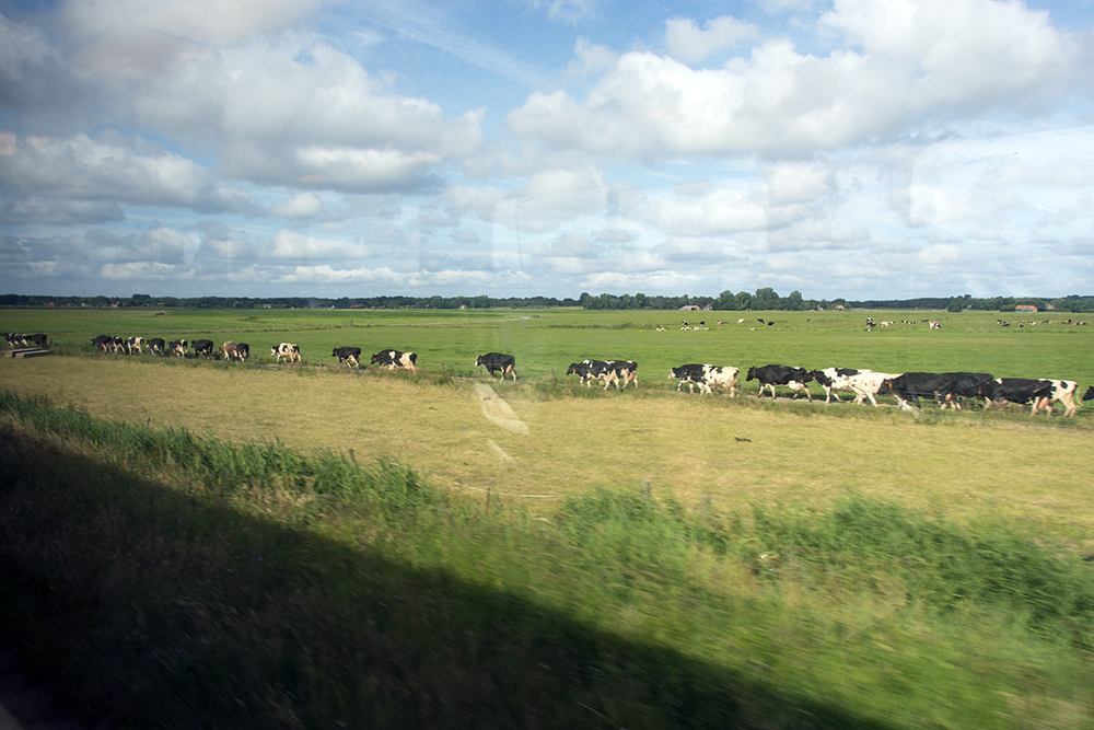 Cows and polder